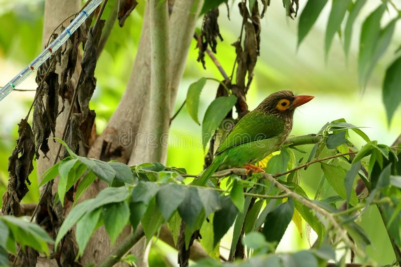 Ceylon Green Barbet in Sri Lanka stock photography