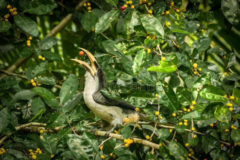 Ceylon Grey Hornbill met fruit stock foto