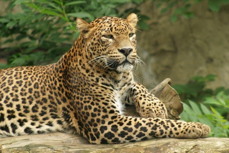 Ceylon-Leopard stockfotos