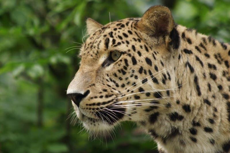 Ceylon-Leopard lizenzfreies stockbild