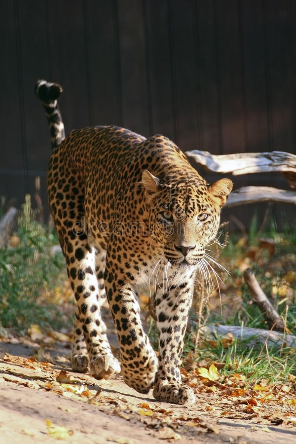 Ceylon-Leopard lizenzfreies stockfoto