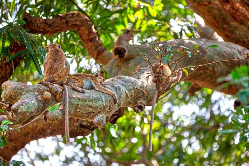 Ceylon Macaques op een boom in Yala Nationalpark royalty-vrije stock afbeeldingen