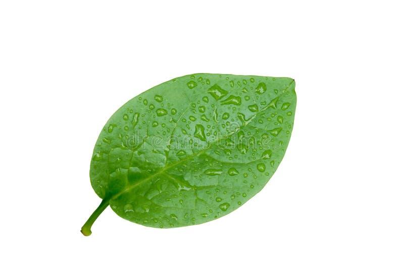 Ceylon szpinaka liść z wodnymi kroplami fotografia royalty free
