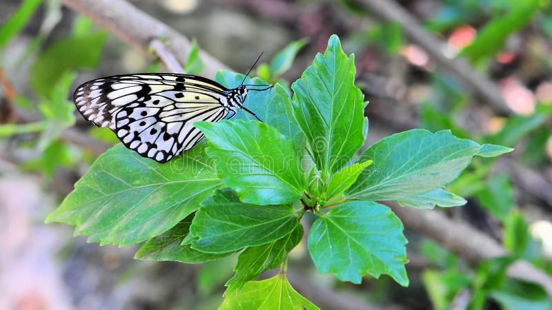 Ceylon Träd-nymf (idéiasonia) fjäril royaltyfri bild