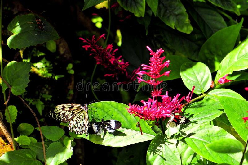 Ceylon Träd-nymf & nyckel- fjärilar för piano arkivfoto