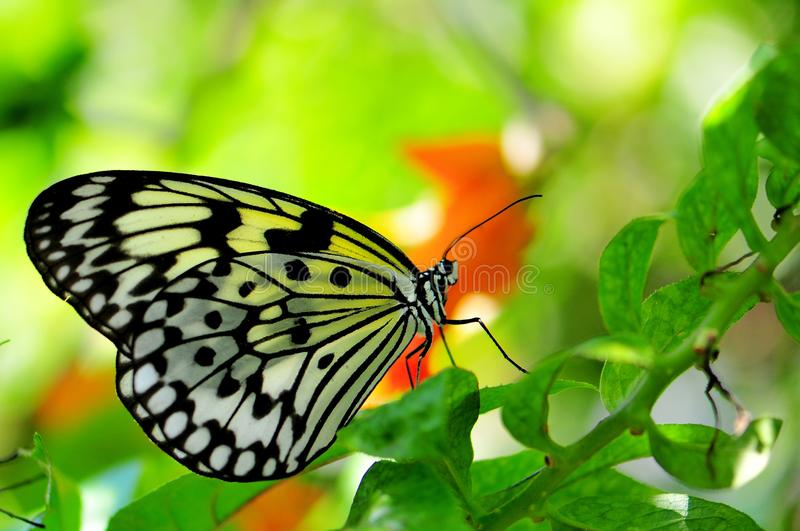 Download Ceylon Tree Nymph Butterfly Stock Photo - Image: 38813762