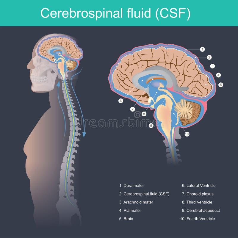 CFS flúida cerebroespinal protege el cerebro y la médula espinal del impacto, elimina la basura del cerebro y de la médula espina ilustración del vector