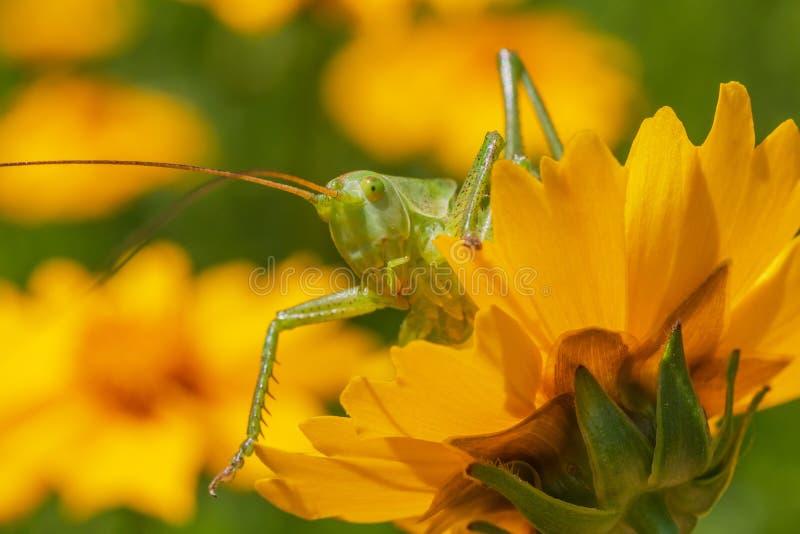 Cgreen-Heuschrecke, die heraus von der gelben Blume im Garten schaut lizenzfreie stockfotos