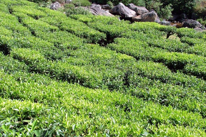 Download Chá foto de stock. Imagem de jardim, plantas, folha, india - 52354
