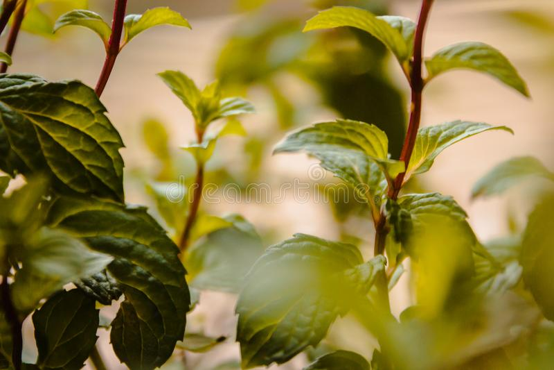 Chá da hortelã que cresce em um jardim imagem de stock royalty free
