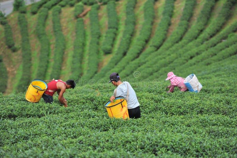 Chá da picareta dos povos fotos de stock