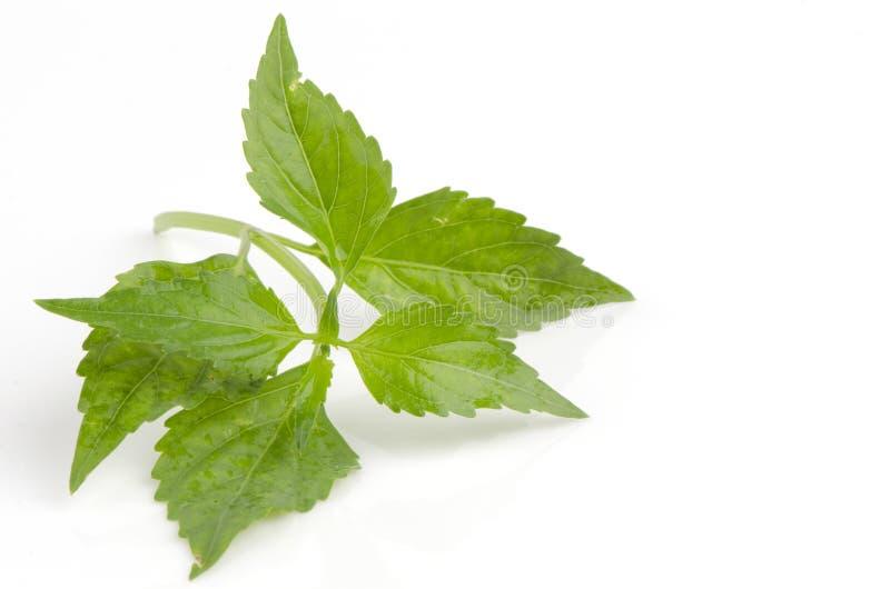 Chá de Java, planta de chá do rim, as suiças do gato (aristatus de Orthosiphon (Blume) Miq.). fotografia de stock