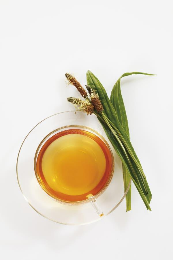 Chá do banana-da-terra de Ribwort no copo no fundo branco fotografia de stock royalty free