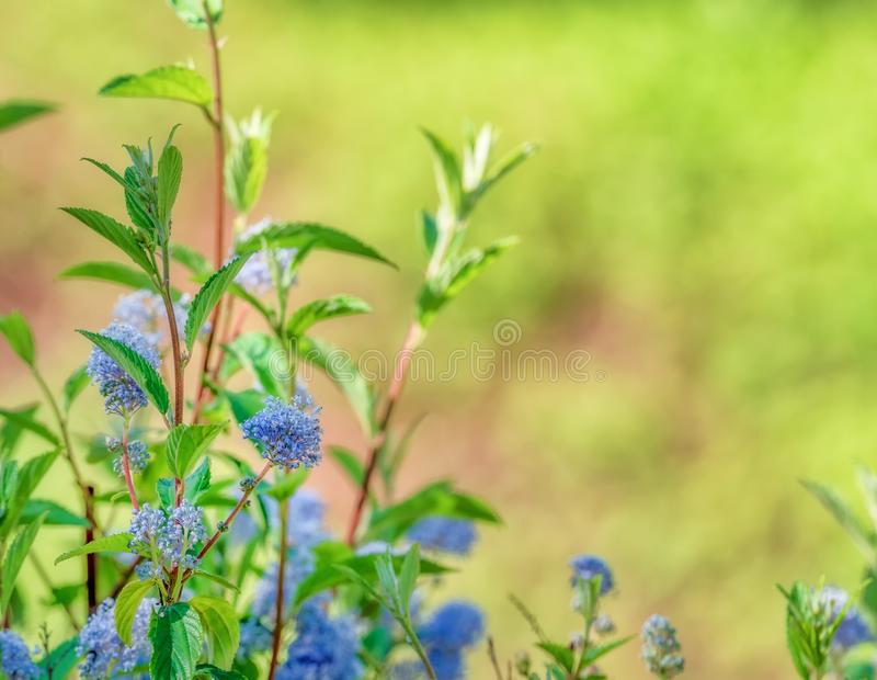 Chá natural Ceanothus de New-jersey da planta americano com fundo defocused fotos de stock