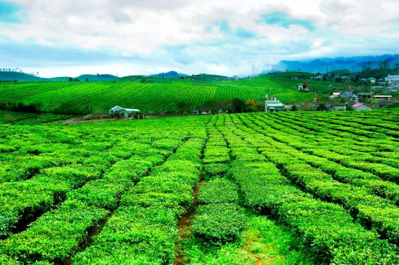Chá verde fresco da beleza no hightland de Moc Chau imagem de stock royalty free