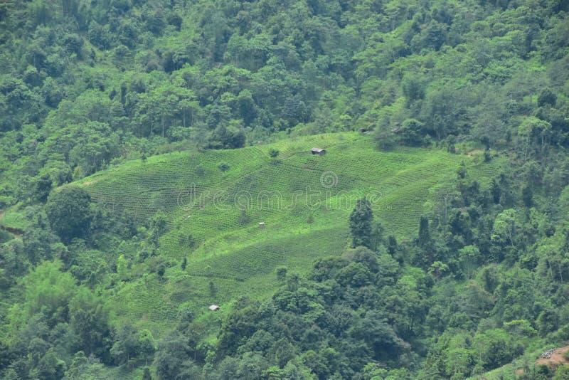 Chá verde orgânico fresco de jardim de chá de darjeeling india fotografia de stock