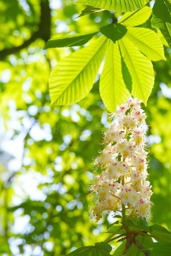 Châtaigne d'arbre de fleur images libres de droits