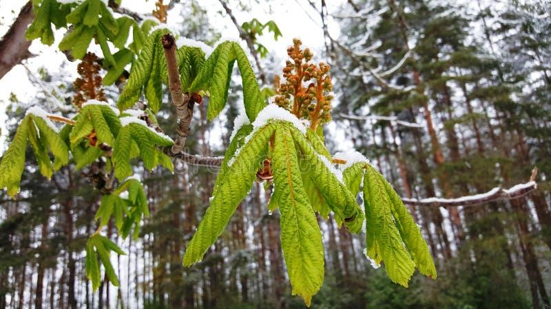 Châtaigne de Milou - hiver inattendu au printemps image stock