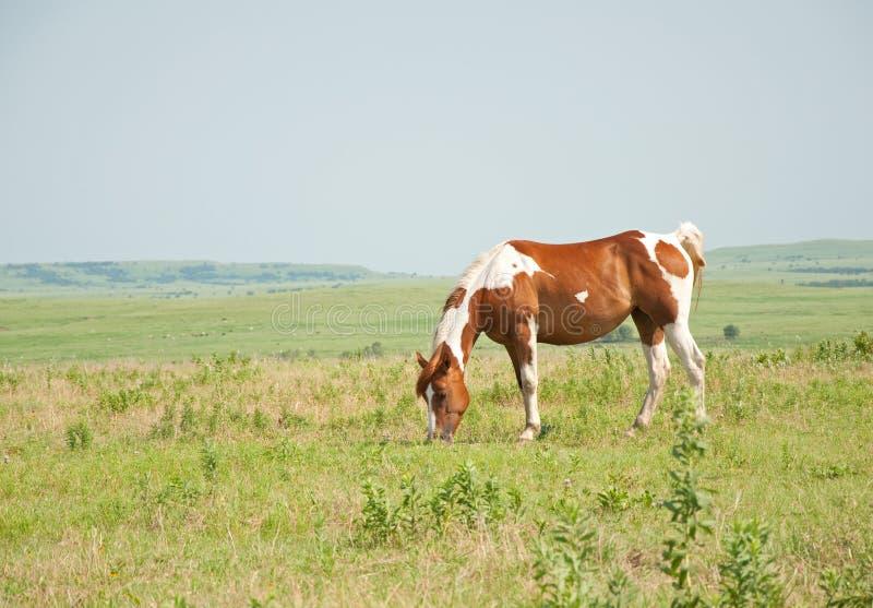 Châtaigne et cheval blanc de peinture frôlant dans le pâturage images libres de droits