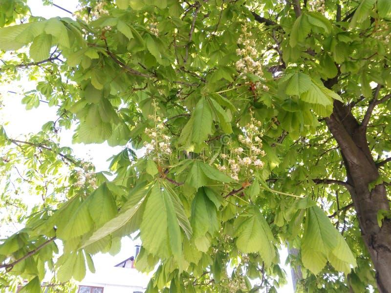 Châtaigne fleurissante de branches parmi les feuilles vertes photographie stock libre de droits