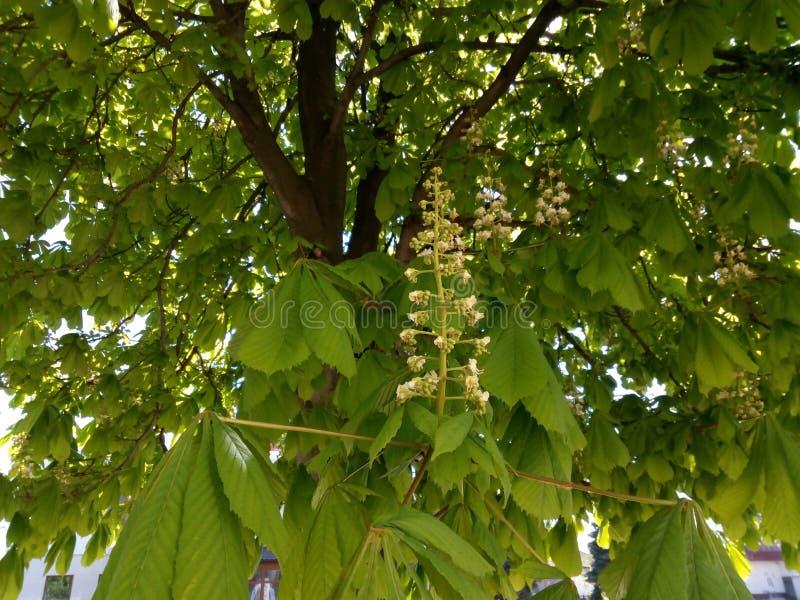 Châtaigne fleurissante de branches parmi les feuilles vertes photo stock
