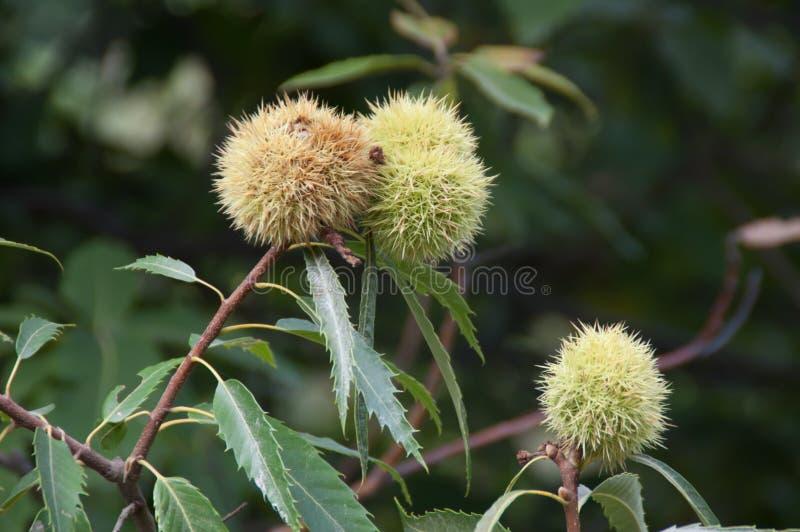 Download Châtaigne mûre sur l'arbre image stock. Image du nature - 45356241