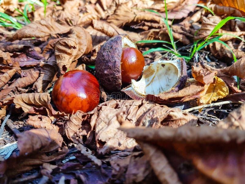 Châtaignes au sol après chute de l'arbre Les châtaignes amères sont la graine du hippocastanum d'Aesculus ou du marron d'Inde et photo stock