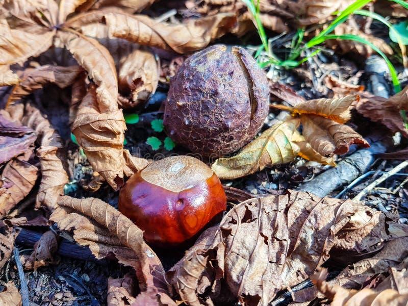 Châtaignes au sol après chute de l'arbre Les châtaignes amères sont la graine du hippocastanum d'Aesculus ou du marron d'Inde et image libre de droits