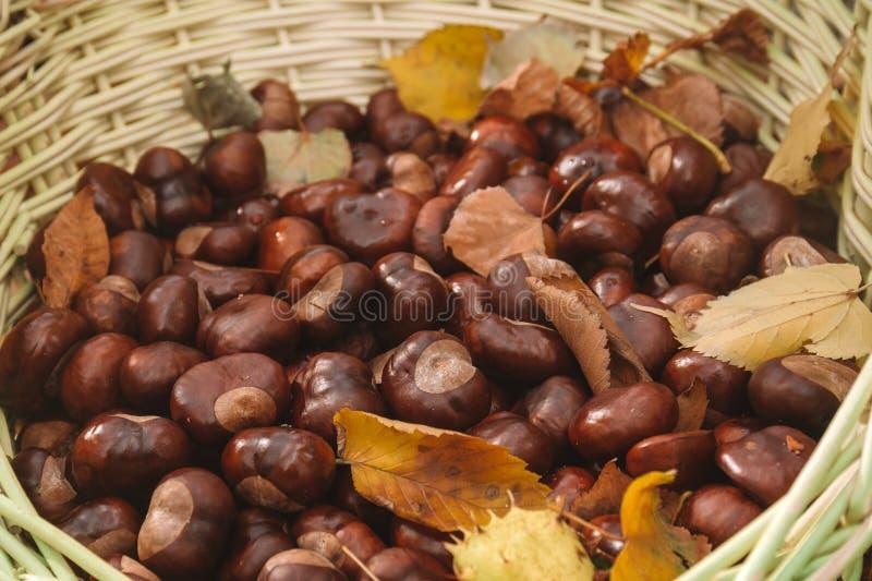 Châtaignes crues dans le panier. feuille de récolte d'automne. fermeture, place du texte image stock