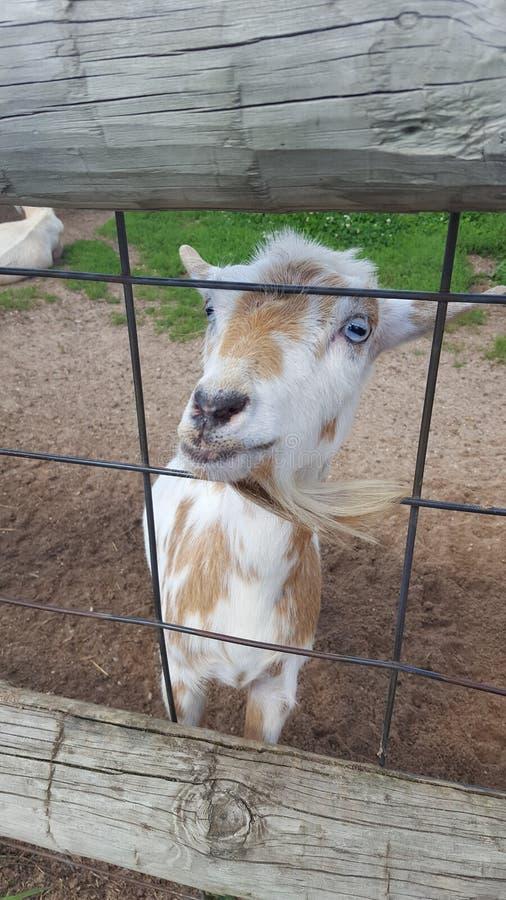 Chèvre à la porte photo libre de droits