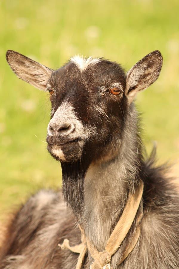 -chèvre photographie stock libre de droits