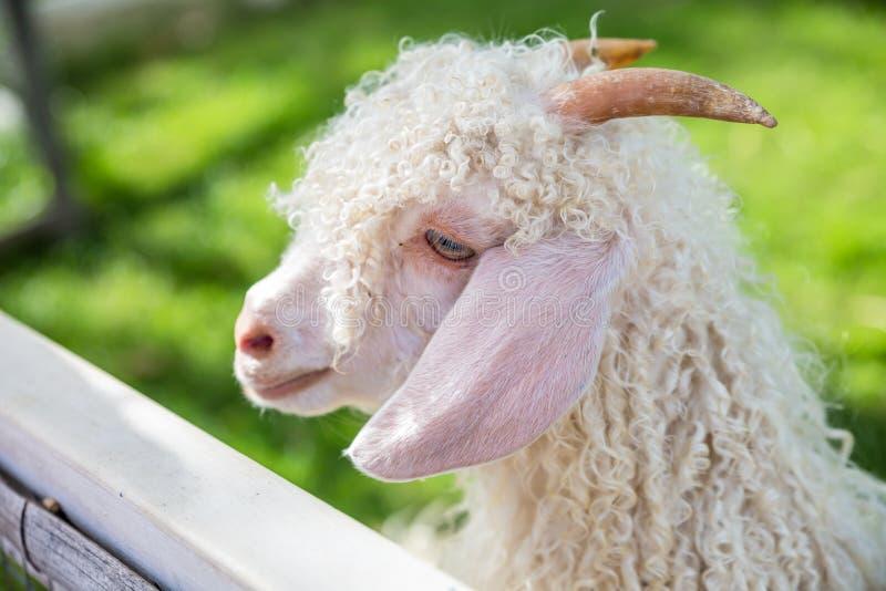 Chèvre photos libres de droits
