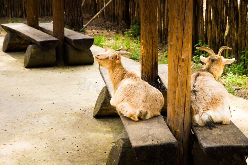 Chèvre photographie stock