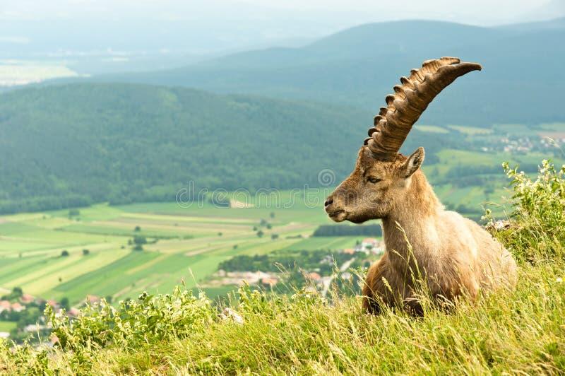 Chèvre alpestre photographie stock