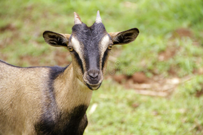 Chèvre Arabe image stock