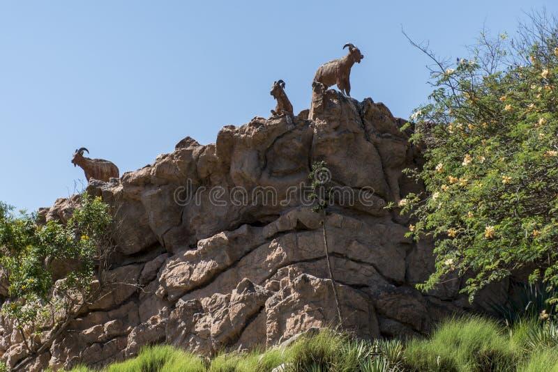 Chèvre au bord d'une montagne dans la région dhofar 2 de salalah de l'Oman images stock