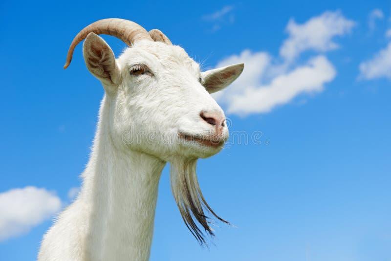 Chèvre avec le klaxon au pâturage vert images libres de droits