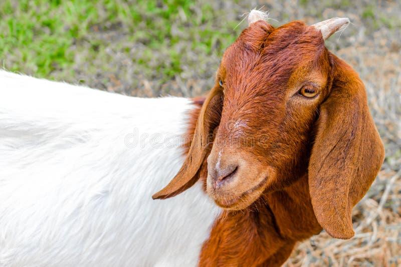 Chèvre avec les klaxons courts image stock