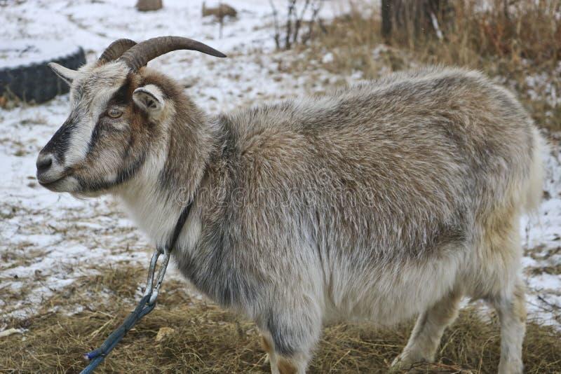 Chèvre bariolée de pure race sur le pâturage en retard d'automne image libre de droits