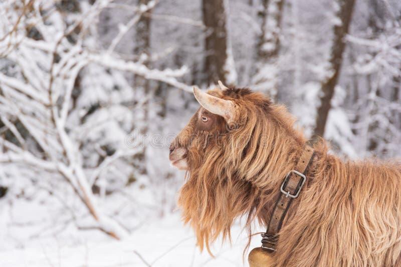 Chèvre blanche de forêt de paysage d'hiver et de campagne de champs photographie stock libre de droits