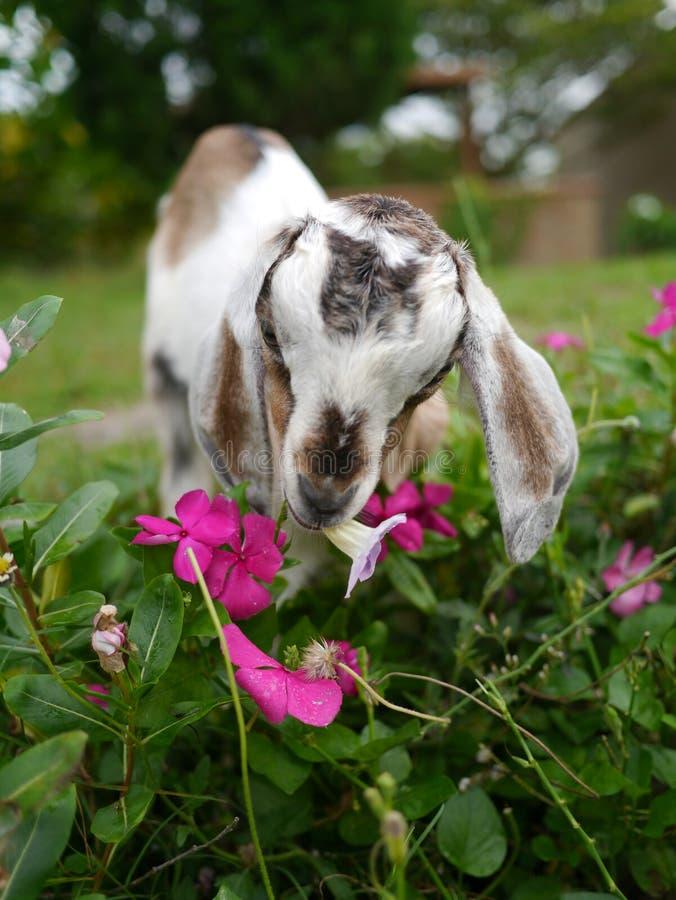 Chèvre blanche et noire de chéri photos stock