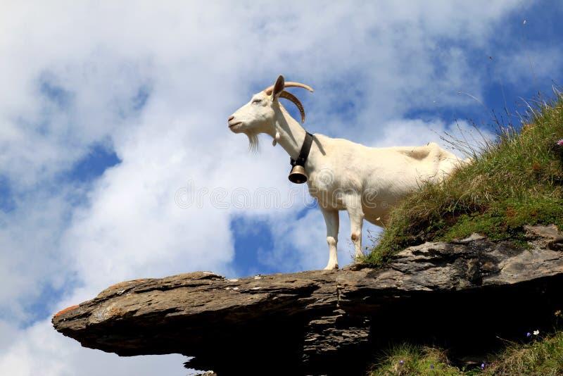 Chèvre blanche sur les roches dans les montagnes suisses photo stock