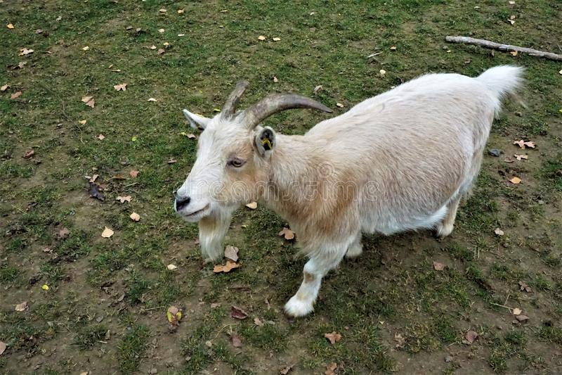 Chèvre brun clair avec des klaxons semblant curieux image stock