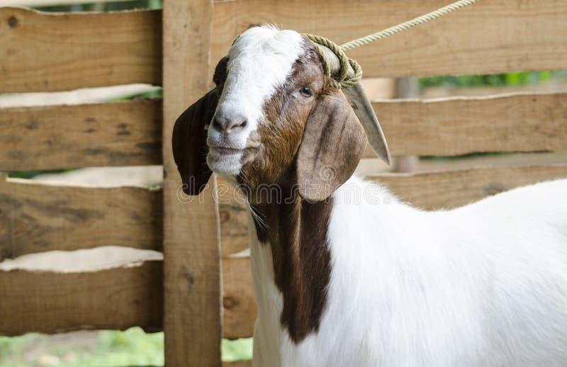 Chèvre brune et blanche masculine photographie stock