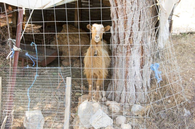 Chèvre crétoise brune triste derrière la barrière, contact visuel photos libres de droits