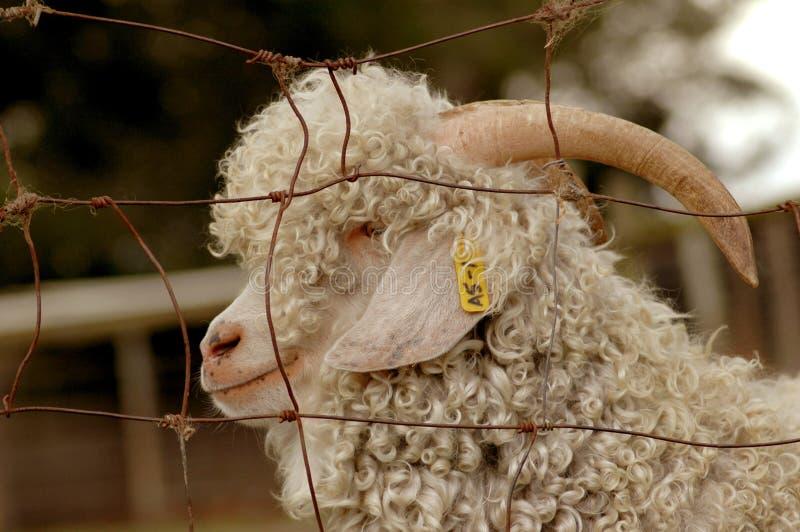 Chèvre d'angora image libre de droits