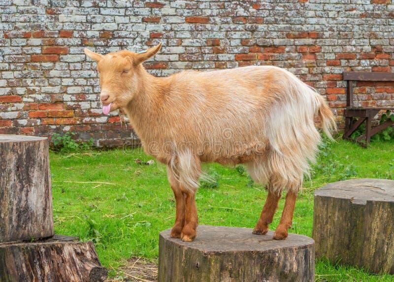 Chèvre d'or de Guernesey posant, Chambre de Sledmere, Yorkshire, Angleterre photos stock