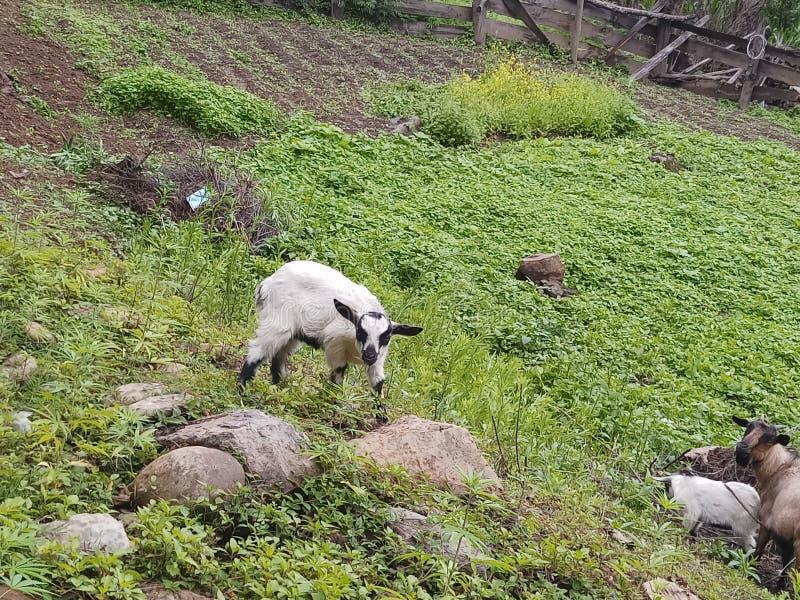 Chèvre d'enfant frôlant la nature photographie stock libre de droits