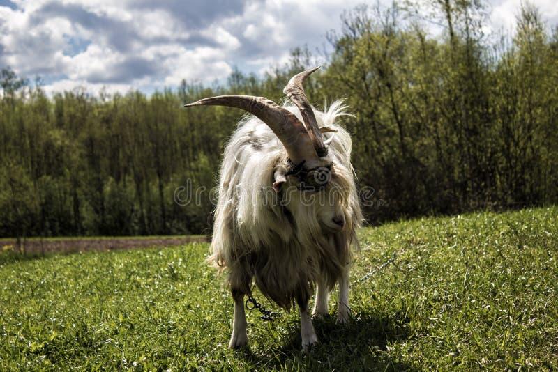 Chèvre dans le paysage photos stock