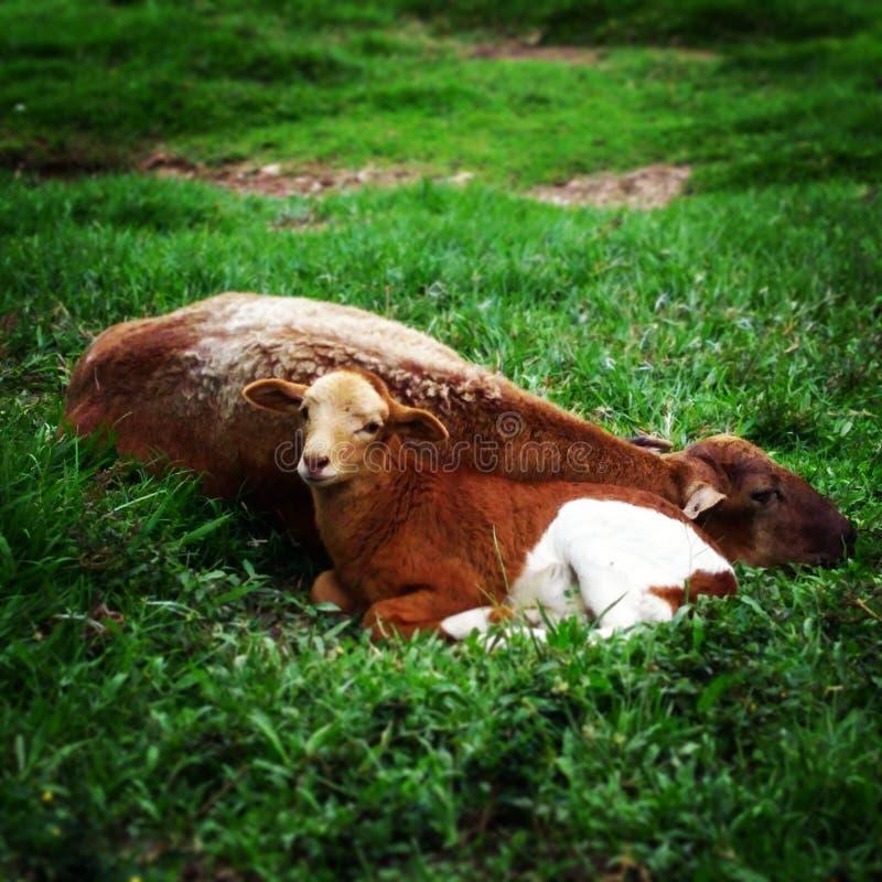 Chèvre de bébé dans la Hacienda Napoles Medellín Colombie image stock
